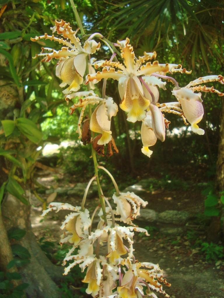 orchid in Playa Del Carmen