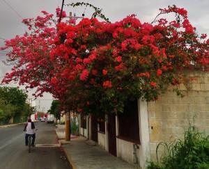 Playa del Carmen pink flowers