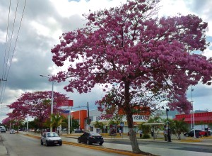 Playa Del Carmen, Flowers trees 30th Avenue
