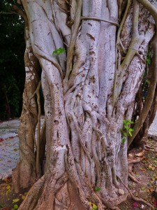 tree, Playa del Carmen, Playa car