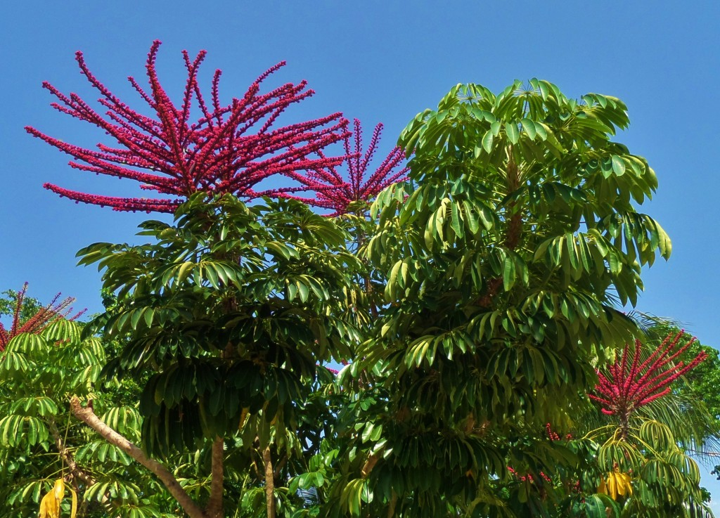 Flowering tree in Playa del carmen
