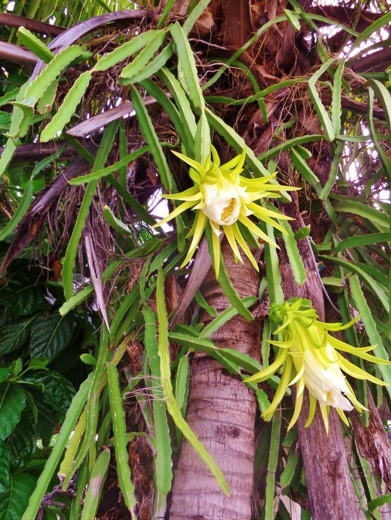 Dragon fruit plant