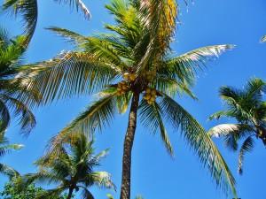 Palm tree Playa del Carmen