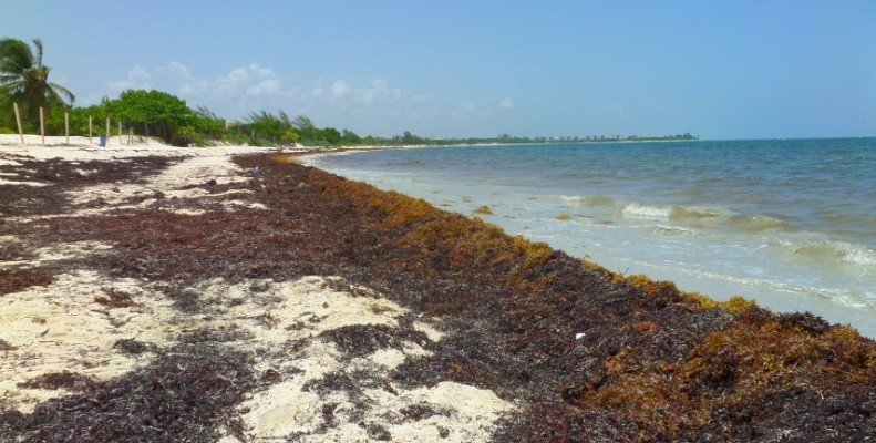 seaweed on the beach in the Riviera Maya