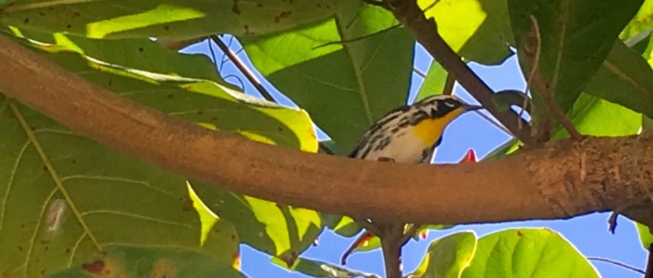 Yellow throated warbler Mexico