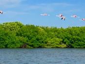 Rio Lagartos Yucatan Flamingos