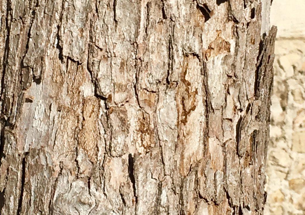 ziricote trees